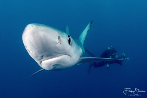 """Close encounter"", Blue shark, Western cape, South Africa. by Filip Staes"