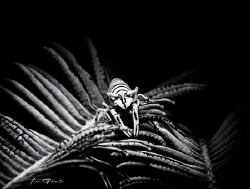 BLACK & WHITE Crinoid Shrimp by Ton Ghela