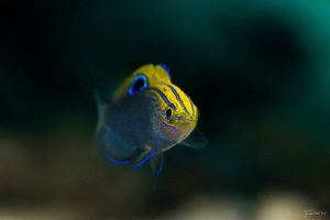 Speckled damselfish by Kelvin H.y. Tan
