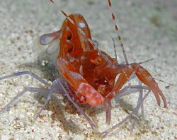 Red Snapping Shrimp (also called Pistol Shrimp). It takes... by Jim Chambers