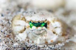 E Y E  Crocodilefish (Cymbacephalus beauforti) Lombok, ... by Irwin Ang