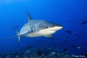 Close encounter with a Galapagos Shark at Darwin Island. by Norm Vexler