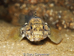 Look into my eyes - Rock Goby (Gobius paganellus) - Pictu... by Gary Carpenter