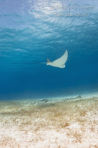 Eagle Ray with cloud, Cozumel México by Alejandro Topete
