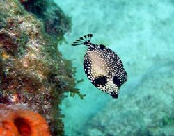 Trunkfish seen at Marathon Key, Florida June 2006. The ph... by Bonnie Conley