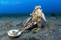 Coconut octopus (Lembeh) by Mathieu Foulquié