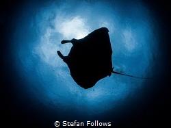To Boldly go ... !  Manta Ray - Manta alfredi  Manta ... by Stefan Follows