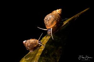 Faucet snails(Bithynia tentaculata), Lake of Ekeren, Belg... by Filip Staes
