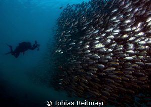 School of Yellowstripe Trevally, Salang Jetty, Tioman Island by Tobias Reitmayr