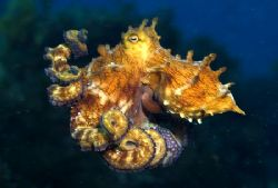 I followed this small octopus for a wile and it changed i... by João Paulo Krajewski