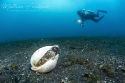 coconut octopus and diver (Lembeh) by Mathieu Foulquié