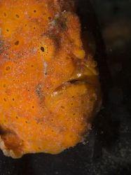 orange frogfish in lembeh strait by Marc Kuiper