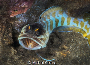 Black cap jawfish by Michal Stros