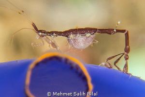 Skeleton shrimp with parasite.  Nikon D800, 105, SMC and... by Mehmet Salih Bilal