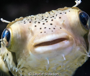 Porcupine fish photographed at Puerto Vallarta, Mexico wi... by Laurie Slawson