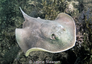 Stingray photographed at San Nicolas, San Carlos, Sonora,... by Laurie Slawson