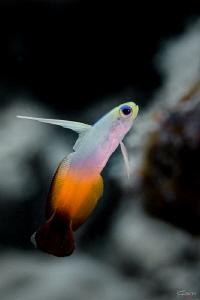 Fire dartfish by Kelvin H.y. Tan