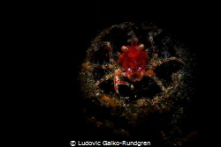 Neomundi olivarae squat lobster guarding its lair.  Snoo... by Ludovic Galko-Rundgren