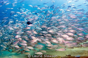 School of wavy-lined grunts at Cabo San Lucas, Mexico. by Laurie Slawson