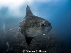 Hang on a minute .... !  Southern Ocean Sunfish - Mola ... by Stefan Follows