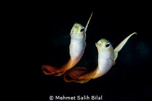 Fire gobies. by Mehmet Salih Bilal