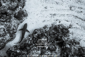 """Exiting The Maze"" - A Caribbean reef shark threads throu... by Susannah H. Snowden-Smith"