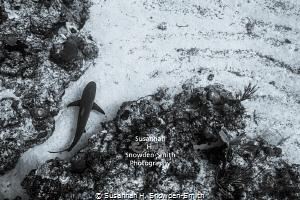 """Exiting The Maze"" - A Caribbean reef shark threads throu... by Susannah H. Snowden-Smith"