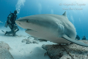 Bullshark and feeder, Playa del Carmen México by Alejandro Topete