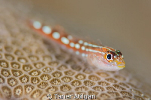 Tiny goby - no crop by Taner Atilgan