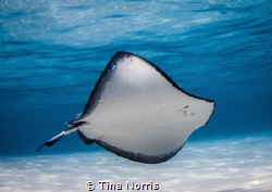 Stingray Beauty by Tina Norris