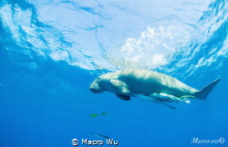 Swim with mermaids,Dugong ! by Macro Wu