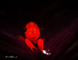 A L I E N Crinoid shrimp by Ton Ghela