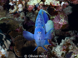 Arabian Angelfish from the front by Olivier Notz