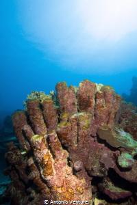 hard corals by Antonio Venturelli