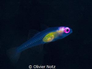 "Translucent juvenile fish (around 1 cm / 1/2"") by Olivier Notz"