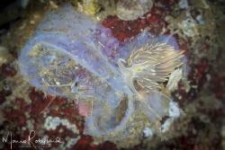 Nudi on a Tunicate by Mario Robillard