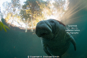 Sun rays spread behind a manatee in early-morning light w... by Susannah H. Snowden-Smith