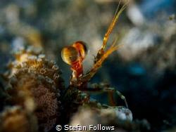 Gesticulated  Mantis Shrimp - Lysiosquilla sp.  Padag... by Stefan Follows