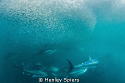 Bluefin Tuna on the Hunt by Henley Spiers