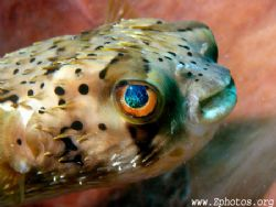 Balloonfish simply have the coolest eyes by Zaid Fadul