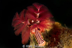 Christmas tree worm in red by Gleb Tolstov