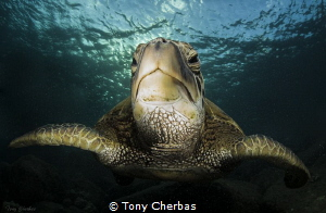 Honu Portrait by Tony Cherbas