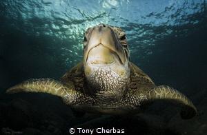 Honu Portrait by Tony Cherbas