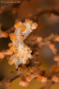 My first pygmy seahorse.  I would have loved to have him/... by Leslie Howell