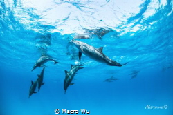 Dolphin with family swiming by Macro Wu