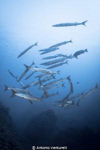 schooling barracudas by Antonio Venturelli