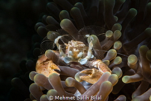 Porcelein crab filter feeding. by Mehmet Salih Bilal