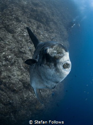 Hey you ... !  Southern Ocean Sunfish - Mola ramsayi ... by Stefan Follows