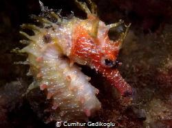 Hippocampus guttulatus Speckled Seahorse by Cumhur Gedikoglu