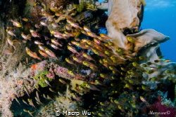Parapriacanthus ransonneti!Top flow of the fish school by Macro Wu